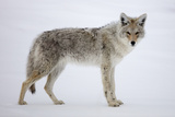 A Coyote, Canis Latrans, Pauses on Snow and Looks at the Camera Photographic Print by Robbie George