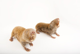 Two Giant Mole Rats, Cryptomys Mechowi, at the Houston Zoo Photographic Print by Joel Sartore