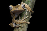 A Borneo Eared Frog, Polypedates Otilophus, Rests on a Tree Branch Photographic Print by Robin Moore