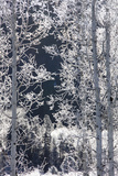 Snow Crystals Coat Twigs and Branches of Birch Trees Photographic Print by Robbie George