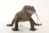 A Rough Necked Monitor, Varanus Rudicollis, at Zoo Atlanta Photographic Print by Joel Sartore