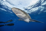 An Oceanic Whitetip Shark Swims in the Waters Off Cat Island in the Bahamas Photographic Print by Brian Skerry