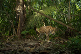 A Jaguar on the Hunt Trips a Camera Trap Photographic Print by Steve Winter