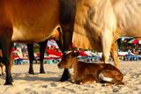 Young Cow, Bos Taurus, Relaxing at Baga Beach Photographic Print by Jill Schneider