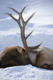 An Elk, Cervus Canadensis, Rests in the Snow Photographic Print by Robbie George