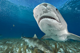 Tiger Sharks Swim in the Shallow Protected Waters of the Bahamas Photographic Print by Brian Skerry