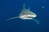 A Tiger Shark Swims in Waters Off the Coast of South Africa Photographic Print by Brian Skerry