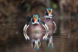 A Determined Male Wood Duck, Aix Sponsa, Moves Forward Photographic Print by Robbie George