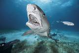 A Tiger Shark at Tiger Beach in the Bahamas Photographic Print by Brian Skerry