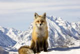 A Red Fox, Vulpes Vulpes, Basks in Winter Sun Photographic Print by Robbie George