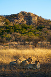 A Lioness and Her Cubs Rest in the Phinda Game Reserve Photographic Print by Steve Winter