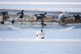 A Trumpeter Swan, Cygnus Buccinator, Takes Off at a Run to Ascend into Flight Photographic Print by Robbie George