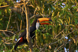 A Toco Toucan, Ramphastos Toco, Perched in a Tree Photographic Print by Steve Winter