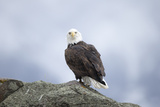 Portrait of a Bald Eagle, Haliaeetus Leucocephalus, Perched Upon a Rock Photographic Print by Robbie George