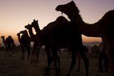 Silhouetted Dromedary Camels at Sunset at the Pushkar Camel Fair Photographic Print by Steve Winter
