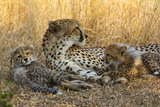 A Cheetah Mother Rests with Her Two Cubs in Golden Grass Photographic Print by Steve Winter