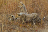 Three Cheetah Cubs, Acinonyx Jubatus, Rest Alertly in Tall Grass Photographic Print by Steve Winter