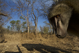 A Remote Camera Captures a Baboon in South Africa's Timbavati Game Reserve Photographic Print by Steve Winter