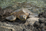 A Green Sea Turtle Rests on Lava Rocks Along the Kona Coast Photographic Print by Anne Keiser