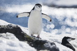 A Chinstrap Penguin Stands Near Another Penguin in the Snow Photographic Print by Stephen Alvarez