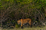 A Tiger Walks Among the Mangroves in India's Sundarbans Region Photographic Print by Steve Winter