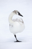 A Leucistic Trumpeter Swan, Cygnus Buccinator, Balances on One Leg Photographic Print by Robbie George
