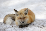 A Red Fox, Vulpes Vulpes, Rests on Snow Photographic Print by Robbie George