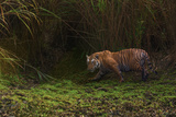 A Remote Camera Captures a Bengal Tiger in Kaziranga National Park Photographic Print by Steve Winter