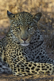 A Leopard Rests in South Africa's Timbavati Game Reserve Photographic Print by Steve Winter