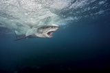 A Large Great White Shark Explodes Through the Water Near the Neptune Islands Photographic Print by Brian Skerry