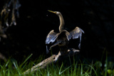 An American Anhinga Sunning on a Fallen Log Photographic Print by Steve Winter