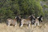 Three Zebras Stand in Tall Grass Photographic Print by Steve Winter