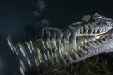 A Submerged American Crocodile Swims in the Dense Mangroves Fotografie-Druck von David Doubilet