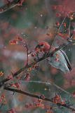 A Grosbeak Eats Berries from a Tree Branch in Grand Teton National Park Photographic Print by Charlie James