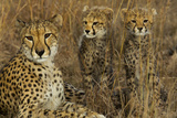 A Mother Cheetah Sits with Her Two Cubs in Tall Grass Photographic Print by Steve Winter