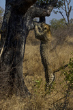 A Female Leopard Climbs a Tree as a Perch to Hunt from in South Africa a Game Reserve Photographic Print by Steve Winter