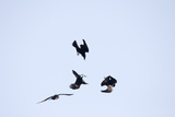 Four Ravens, Corvus Corax, Find Themselves in a Acrobatic Performance Midair Photographic Print by Robbie George