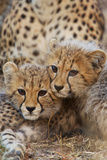 Two Cheetah Cubs, Acinonyx Jubatus, Rest Together Near their Mother Photographic Print by Steve Winter