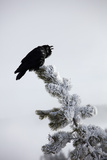 A Common Raven, Corvus Corax, Perches Atop a Snow Laden Pine Photographic Print by Robbie George