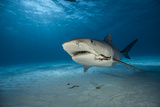Fishing Hooks Dangle from a Tiger Shark's Mouth in the Waters of the Bahamas Photographic Print by Brian Skerry