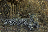 A Leopard Cub Rests in South Africa's Timbavati Game Reserve Photographic Print by Steve Winter