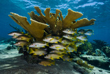 Bluestriped Grunts and Schoolmaster Snappers Swim Among Endangered Elkhorn Coral Fotografie-Druck von David Doubilet