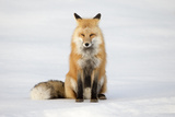 Portrait of a Red Fox, Vulpes Vulpes, in Snow Photographic Print by Robbie George