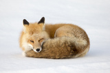 A Red Fox, Vulpes Vulpes, Curled Up on the Snow Photographic Print by Robbie George