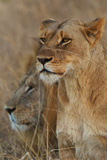 A Lion and Lioness Rest in the Grass at the Phinda Game Reserve Photographic Print by Steve Winter