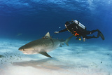 A Video That Gathers Footage of the Shark's Movements, Is Attached to a Tiger Shark Photographic Print by Brian Skerry