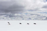 Gentoo Penguins Walk across Sea Ice Photographic Print by Stephen Alvarez