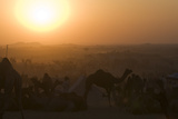 A Setting Sun and Silhouetted Camels at the Pushkar Camel Fair Photographic Print by Steve Winter