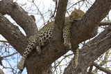 A Female Leopard Rests in a Tree in South Africa's Timbavati Game Reserve Photographic Print by Steve Winter