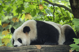 A Giant Panda Rests on a Tree Branch at the Wolong China Conservation and Research Center Photographic Print by Ami Vitale